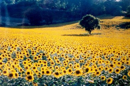 Tuscany - sunflower fields