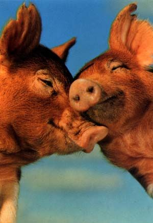 Adorable pigs snuggling.