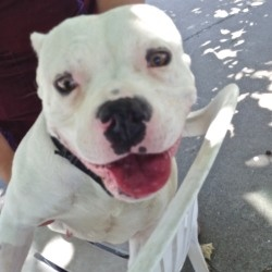 #CALIFORNIA #URGENT ~ ID 11332_Piglet is a Spayed 3y/o #adoptable American Staffordshire Terrier Dog in #Oakland - Look at me!  I'm a 3-year old compact silly girl. I came to the shelter as a stray in May, and I'm ready to move out and find a new forever home. I'm pretty much a perfect size, and I love to cuddle, so what are you waiting for? #Adopt me !! OAKLAND ANIMAL SERVICES  1101 29th Ave   #Oakland CA 94601  mailto:accatoas@g...   Ph 510.535.5602