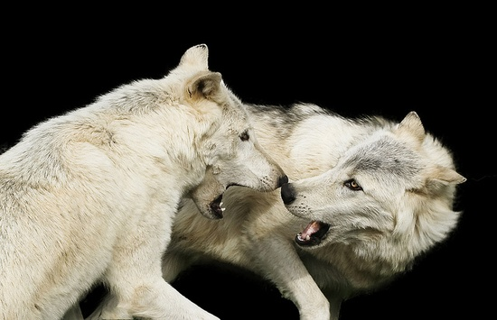 When wolves play... by pattoise, via Flickr