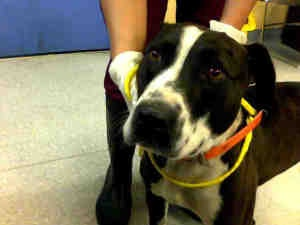 A491546 is an adoptable Pit Bull Terrier Dog in Louisville, KY.  ...