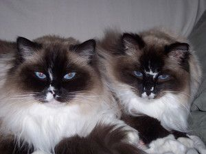 Josephine and Miguel is an adoptable Ragdoll Cat in Winder, GA. Josephine and Miguel are, as is readily seen, beautiful Ragdoll sister and brother and are seniors, approximate 12 years old.  Their fam...