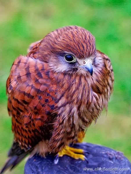 Kestrel, Baby. - Cute animals world