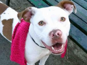 SIERRA is an adoptable Pit Bull Terrier Dog in New York, NY. A volunteer writes: Sierra is amazing! She is absolutely stunning in her white and caramel coat which gleams with apparent good care. Her e...