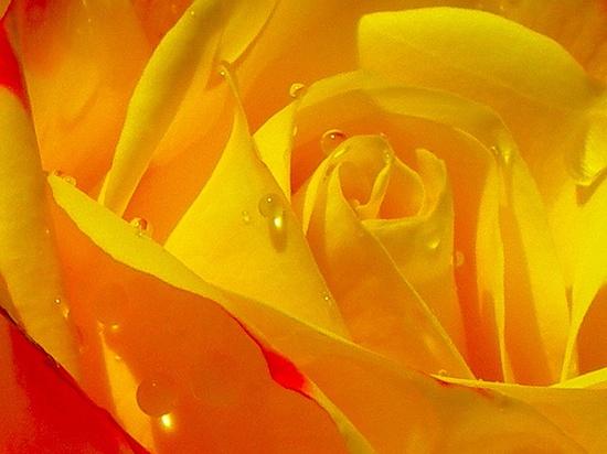 Pretty Yellow Rose