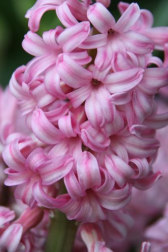 Beautiful pink Hyacinth