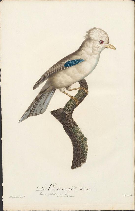 1806, 'Histoire Naturelle des Oiseaux de Paradis et des Rolliers, suivie de celle des Toucans et des Barbus' by François Levaillant and Jacques Barraband
