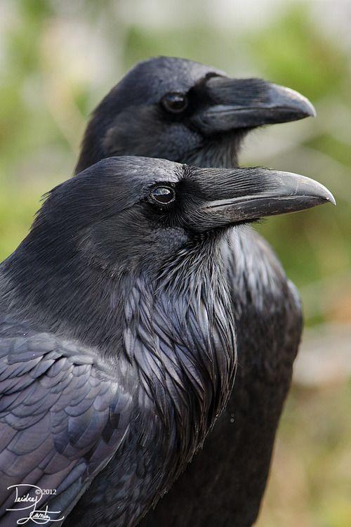 raven black...