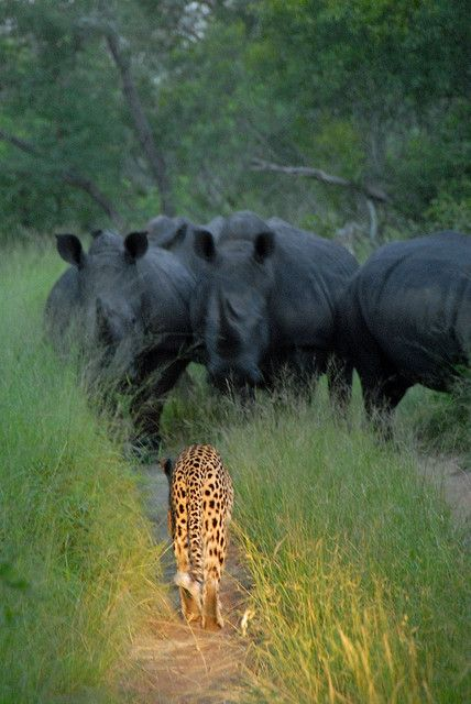 Leopard faces off Rhino herd by isynoho on Flickr.