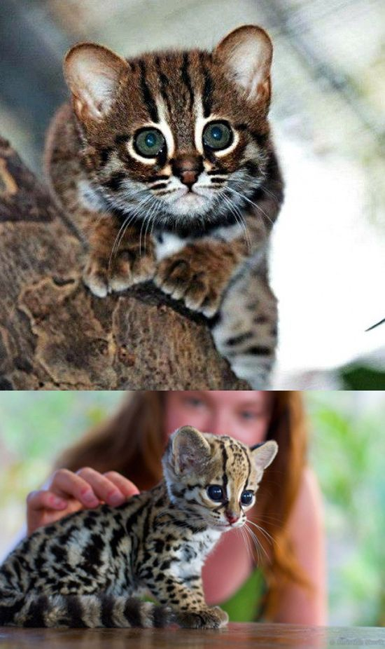 Oh dear sweet eight pound six ounce newborn baby Jesus. its a Baby Ocelot, aka the most adorable thing ever.