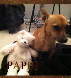 Pappi #URGENT is an #adoptable Dachshund Dog in #SanDiego, #CALIFORNIA. Cute ? cute ? cute ? !!! Meet Pappi! A highly desired chiweenie mix! We are urgent find this doll a home or foster. Pappi is the cutest 2 year o...