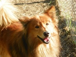 1594 is an adoptable Collie Dog in Saginaw, MI. Before you can adopt a dog you must first fill out an application and have it approved at the front desk. If you already own a dog you must schedule a t...