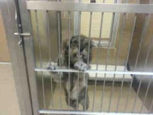 Tex is an #URGENT #adoptable #Schnauzer #Puppy #Dog in #Plano, #TEXAS. Tex is such a loveable and sweet little dog! He is about 10 months of age. He is so cute and friendly! He is heartworm positive but his treatment has be...