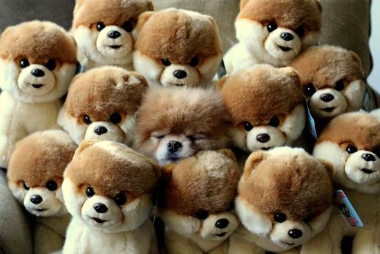 Cute little pom among all the stuffed ones