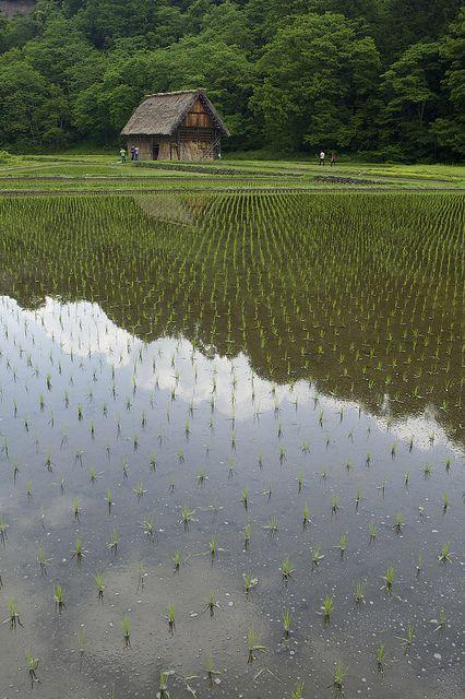 A rice field, Shirakawa Village, Japan.
