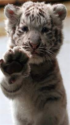 Cute Baby Tiger #animal