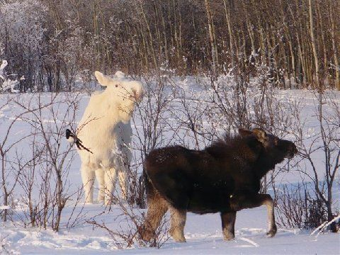 albino moose in winter.  During the rest of the year, her color would make her stand out in the environment