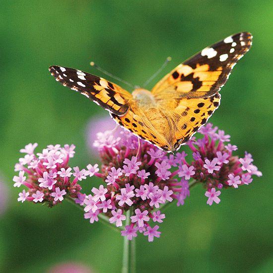 Butterfly+Garden+Plants