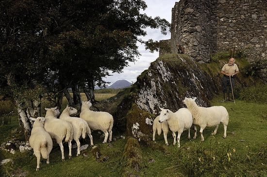 Shepherd and his sheep at Kilchurn Castle  ruins on the banks of Loch Awe, Scotland.