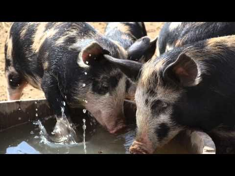 ? Cute Baby Animals From Heritage Breeds - MOTHER EARTH NEWS - YouTube