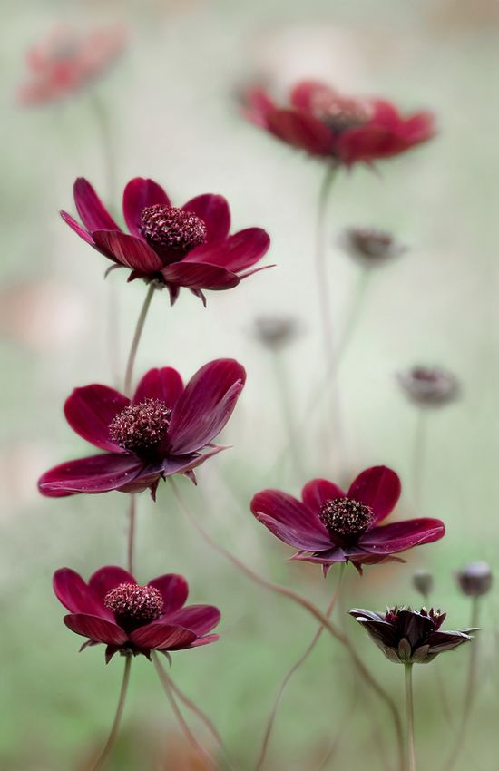 Cosmos sway - I love the chocolate colors.  These are generally listed as annuals but they tend to reseed and come back again, and again. Love full sun.
