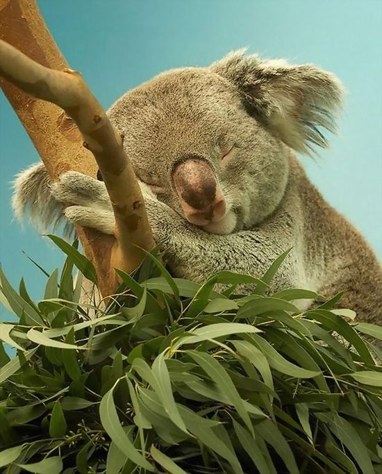 Koala sleeping