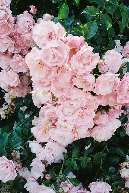 summer roses / kid_curry on flickr.
