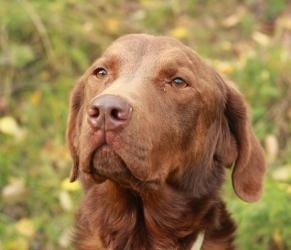 I'VE BEEN ADOPTED!!!    Rhone is an adoptable Chesapeake Bay Retriever Dog in Anchorage, AK. Rhone is a great boy who is looking for a home of his own.  He loves to learn and loves his people.  Good with most other dogs but ...