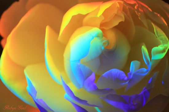 All Colors Rose
