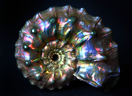 opalized and pyritized ammonite fossil - one of my favorite of all mineral forms.. just glorious!