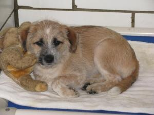 FOXIE is an adoptable Wirehaired Terrier Dog in Lisbon, OH. Hi there new friends!! My name is Foxie. I am a super adorable little lady looking for my new home. I am around 3-4 months old, and just a t...