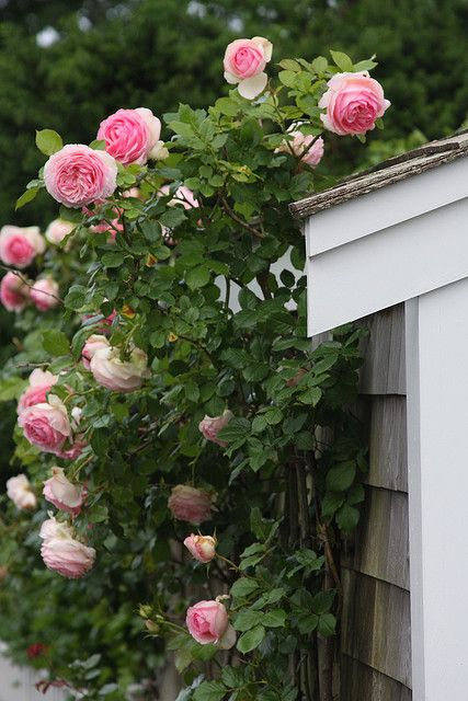 Climbing roses. This looks like my fave: Pierre de Ronsard