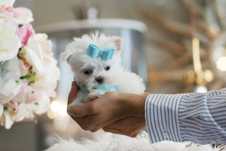 Mikey a super pocketbook Maltese is For Sale #puppy #dog #maltese #forsale #sale #cute #pet