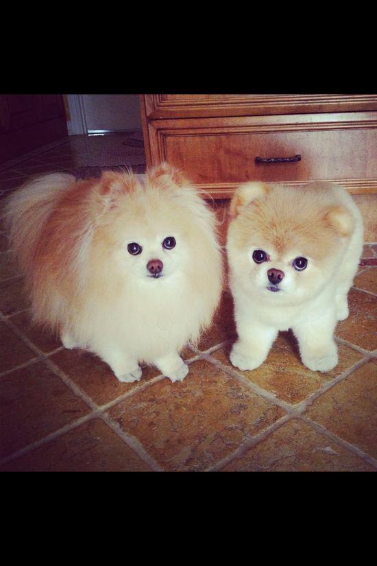 Boo the worlds cutest dog  :)