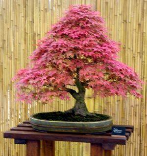 Pond Cypress   Taxodium ascendens  Bonsai  10  Fresh Seeds Free Shipping