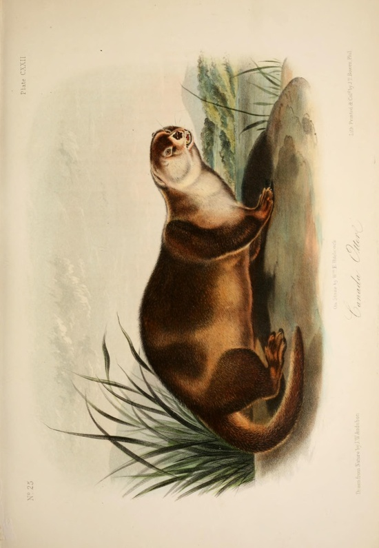 Otter. The quadrupeds of North America v.3  New York,V.G. Audubon,1851-54.  Biodiversitylibrary. Biodivlibrary. BHL. Biodiversity Heritage Library