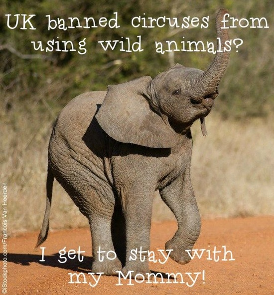AMAZING NEWS: Circuses in the UK will no longer be using wild animals!  A historic day for all the elephants, tigers, camels & zebras who will no longer be confined, abused, & forced to perform tricks for entertainment: peta.vg/18e