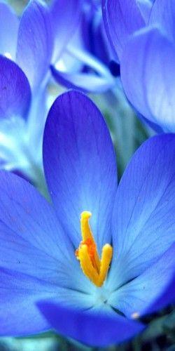 Blue crocus macro.