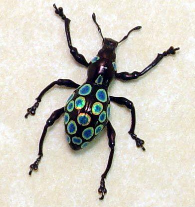 Pachyrrhynchus congestus real Polka dots beetle weevil from Philippines