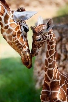 mother and baby giraffe...