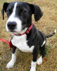 Blizzard is an adoptable Labrador Retriever Dog in Lincolnton, NC. At Lincoln County Animal Services, there is an $85 dollar adoption fee. This fee covers the following services for your pet: * Spay o...