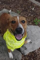 """URGENT! ADORABLE FOX TERRIER MIX """"GOLDIE"""" (lovebug) is waiting for you!!!! Mahoning Adoption Center Youngstown, OHIO>>>541//goldie//7 is an adoptable Fox Terrier Dog in Youngstown, OH. CONTACT: mailto:stoohey@ma...   Available:  7/5 Hi my name is Goldie I was found on the eastside of youngstown running loose. ..."""