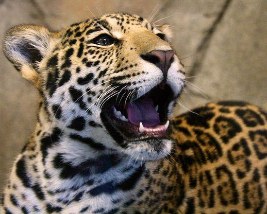 Jaguar cub at 7 months.