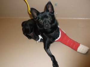 NEVADA ~ KAMEKO is an #adoptable Schipperke Dog in Reno. ~~ no further details on petfinder about her or how her leg became broken  ~~ needs out of the shelter ~ Nevada Humane Society, Reno, NV  (775) 856-2000 X302