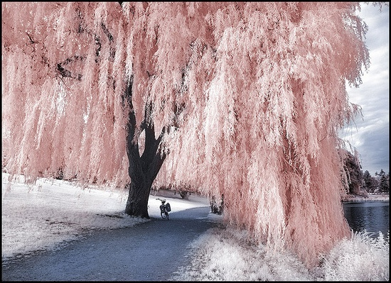 pink tree- i would love to have this in my yard!
