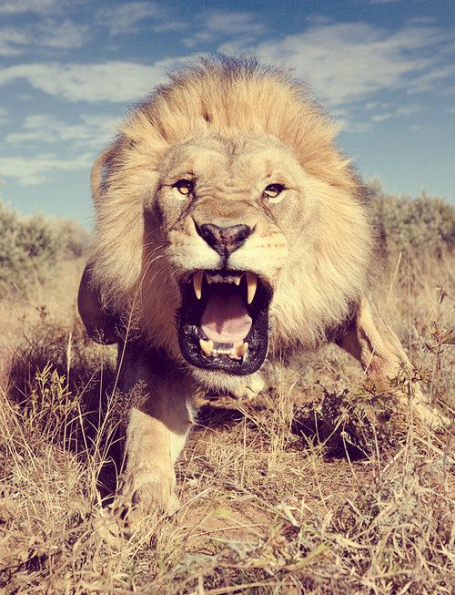 How can we not like lions? Dominate the field!