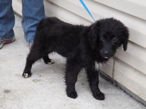 SUZE - - - - -  is an #adoptable Flat-Coated Retriever Dog in #Prestonsburg, #KENTUCKY.  SUZE is a 4 month old female Flat Coat Retriever. She came from a home with several other dog including Tyson, Becca, and Claire. A...