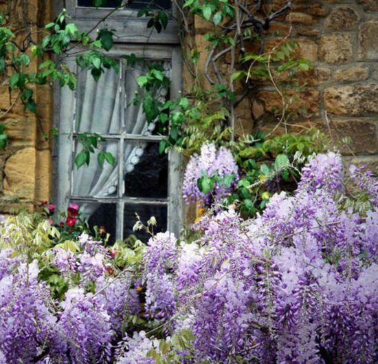Wisteria, its so beautiful!