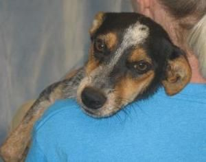 #SCAROLINA ~ Minute is a young Spayed Australian Cattle Dog - Blue Heeler in need of a loving #adopter or #rescue at OCONEE HUMANE SOCIETY 1925 Sandifer Blvd #Seneca SC 29678 mailto:info@ocone... Ph 864-882-4719