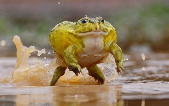 260 Bull Frogs and African Bull Frogs ideas in 2021   frog, bull, frog and  toad